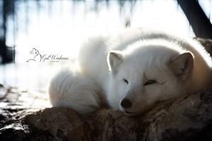 Polarfuchs-Gut-Weidensee01